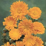 Pot Marigold - Calendula Officinalis - Appx 600 seeds